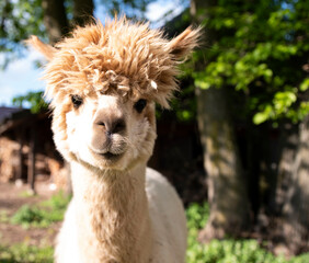 alpaca in the zoo