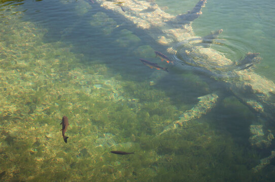 Fishes Swimming in Plitvice Lakes National Park, Croatia