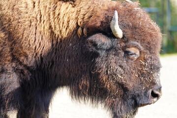 Fototapeta american bison buffalo