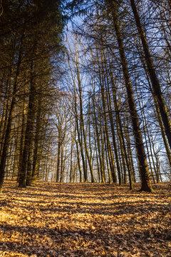 Forêt dans les Hautes Fagnes ( Liège ,Wallonie ,Belgique )