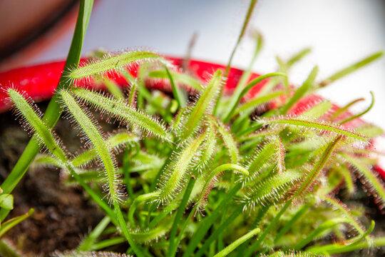 Sundews, Drosera Capensis carnivorous plant close-up view