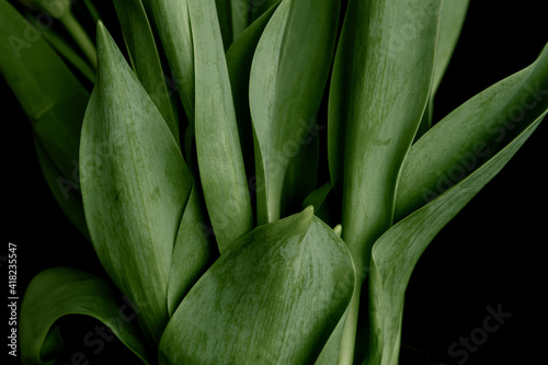 Close up of tulip leaves as a background or pattern; Pattern of fresh tulip leaves