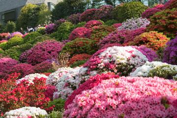 Colorful azalea flowers at Nezu Shrine in Tokyo, Japan 色とりどりのツツジが咲く春の根津神社