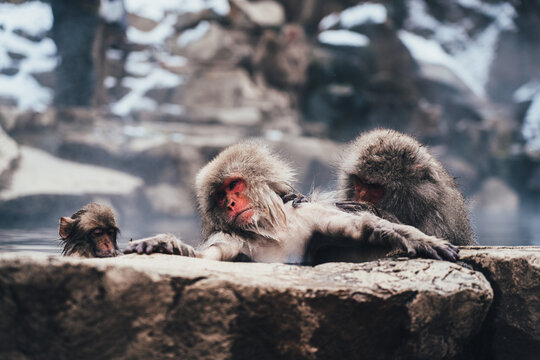 Snow Monkey in Hot Spring 地獄谷の猿 Japanese Macaques