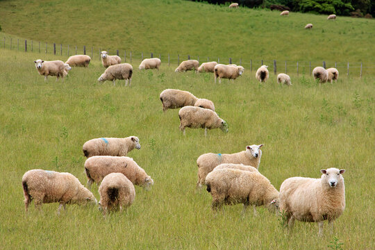 Flock of sheeps in the hills of New Zealand