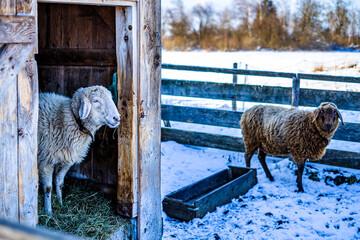 Wall Mural - sheep at a farm