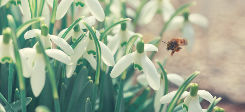 Snowdrops on bokeh background and bee in sunny spring garden under sunbeams.