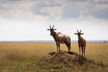 Closeup of Impala image taken on Safari located in the Serengeti, National park, Tanzania. Wild nature of Africa..