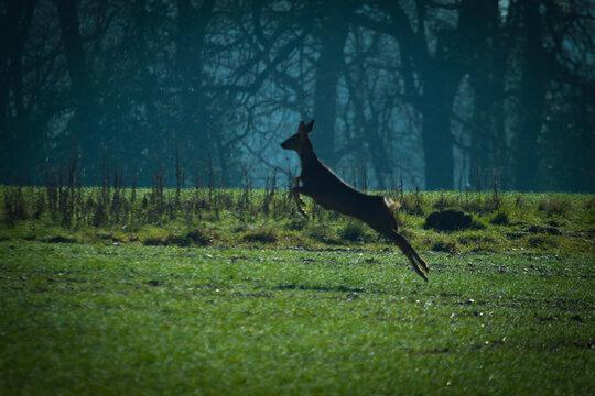 Roe deer leaping