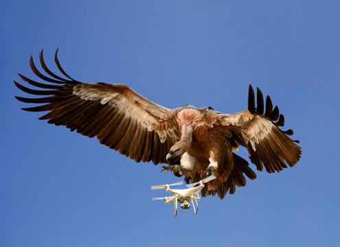 Nature versus Technology concept. Eagle attacking airborne drone against blue sky, digitally enhanced image
