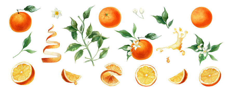 Watercolor orange fruits. Citrus set with half and slices. Isolated on white background. Hand painted,  botanical painting perfect for kitchen design, cards, poster, textile, menu