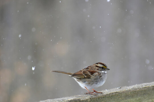 White throated Sparrow facing to the right in a snowstorm