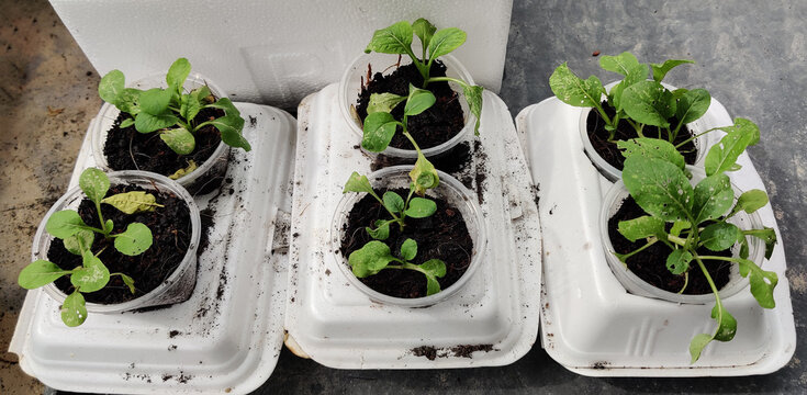 Cultivating vegetables using styrofoam food pack. Selective focus points
