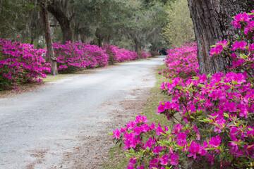 USA, Georgia, Savannah. Bonaventure Cemetery in the spring with azaleas in bloom.