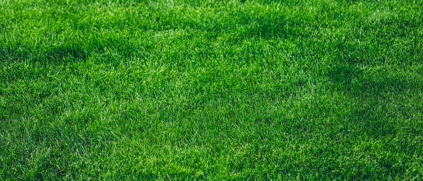Selective focus image of fresh green grass texture background