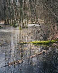 Fototapeta mokradło w Polskim lesie - Kampinoski Park Narodowy obraz