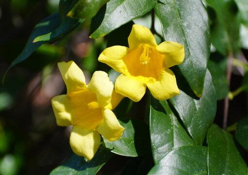 Carolina Yellow Jessamine flowers, a climbing tropical vine