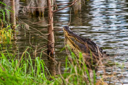 Alligator posturing with its head protruding from the water during mating season.  Circle-B-Bar Reserve near Lakeland, Florida.