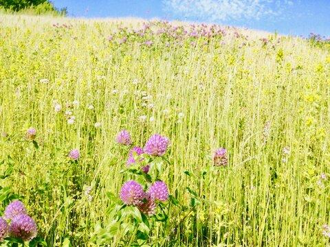 春色の草原と青空 レッドクローバー