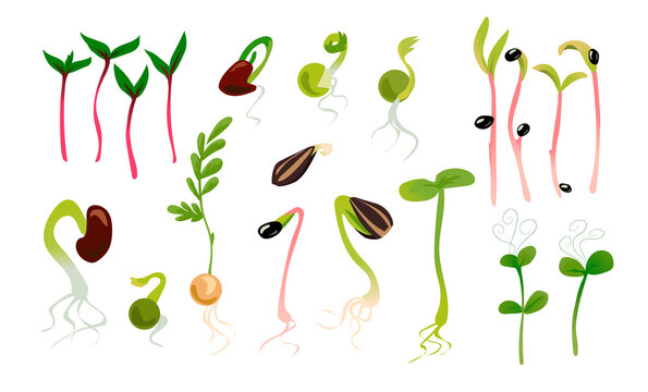 Green sprouts. Microgreen growing seed, plant growth phase. Seedling with leaves and roots. Vegetables germination process. Isolated seedlings for planting in garden. Vector organic healthy food set