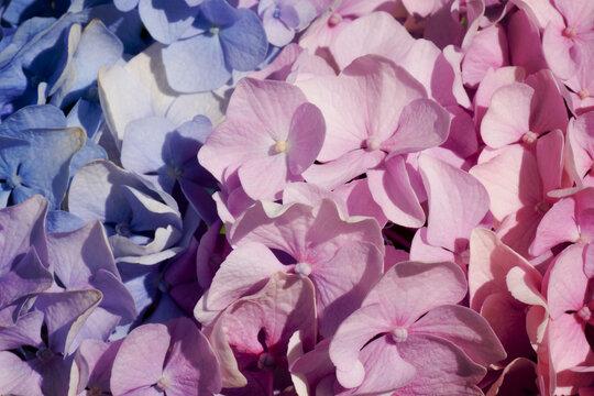Mackro pink hydrangea Flower Backdrop. Fine Art Floral Natural Textures. Portrait Photo Textures Digital Studio Background, Best for cute family photos, atmospheric newborn designs Photoshop Overlays