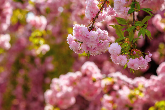 pink cherry blossom closeup. beautiful nature background in spring on a sunny day in park