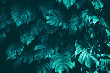 Fototapeta monstera plant, tropical leaf, dark nature background
