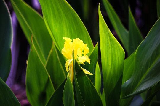Closeup of a Yellow Iris against a green backdrop