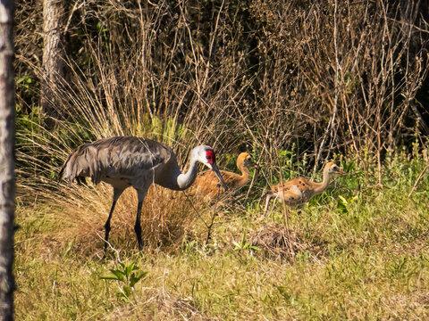 Sandhill Crane with juveniles at Circle-B-Bar Reserve near Lakeland, Florida.