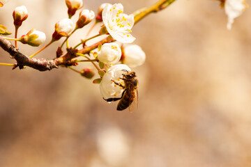 A bee sits on the flower of a flowering tree