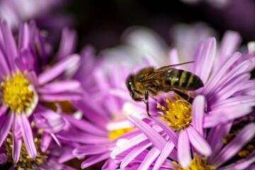 honey bee in purple spring flowers