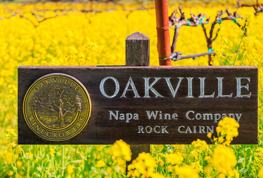 Yountville, USA - February 27, 2021: Yellow mustard flowers between grape vines at the Nickel and Nickel Rock Cairn Vineyard, Napa Valley, California