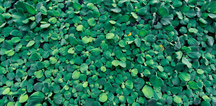 Top view green leaves of water lettuce floating on water surface. Pistia stratiotes or water lettuce is aquatic plant. Invasive species. Closeup leaf of water lettuce pond plants. Nature banner.