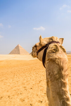 Camel at Giza, a pyramid in the background on the outskirts of Cairo.
