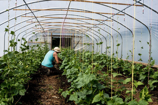 Woman kneeling in a poly tunnel, tending courgette plants.