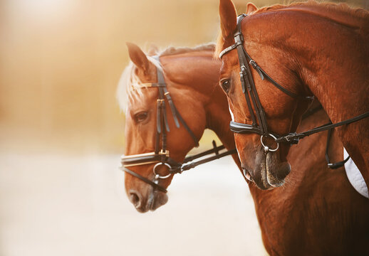 Portrait of two sorrel horses with a light mane and bridle on the muzzle, standing side by side on a sunny summer bright day. Equestrian sports.