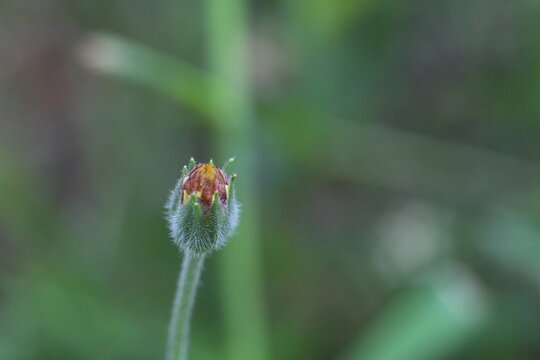 orange flower bud close up