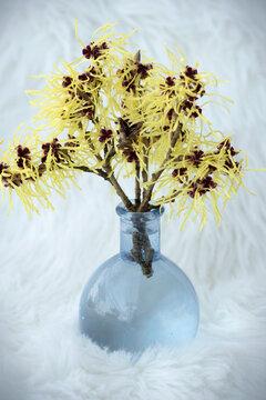 Hamamelis virginiana, Witch Hazel in a glass vase isolated on white