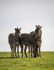 Three zebras in the african sun on a cloudy day