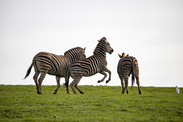 Zebras having fun in african sun