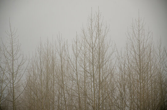 Foggy trees in Alaska