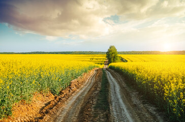 Wall Mural - Yellow canola field and blue sky on sunny day. Location rural place of Ukraine, Europe.