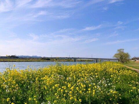 菜の花と橋と青空 春の川辺