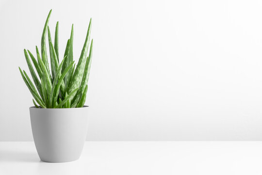 Aloe vera in pot on white table. Front view. Place for text, copy space, mockup