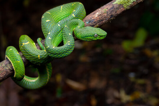 Side Striped Palm Pitviper (Bothriechis lateralis) - Monteverde, Costa Rica