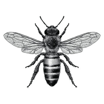 Hand drawn Honey bee illustrated in a vintage style.