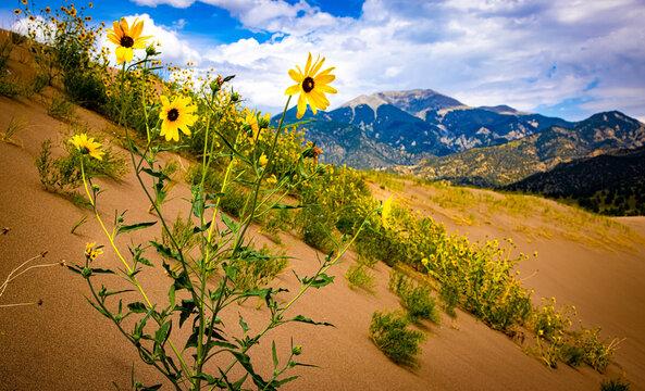Great Sand Dunes Sun Flowers