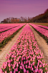 Spring tulips in Holland at dusk