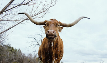 Wall Mural - Texas longhorn cow getting drink with water dripping from face against spring sky background.  Farm animal hydration.