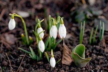 Obraz przebiśnieg, kwiat, biała, przebiśnieg, zieleń, roślin, makro, kwiat, pora roku, kwiat, flora, zima, beuty, kwiatowy - fototapety do salonu